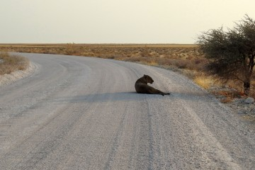 2016 09 Namibia Lioness on the track 026
