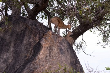 2016 11 Krueger National Park 023 klipspringer