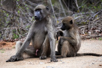 2016 11 Krueger National Park 031 fur care of the baboons