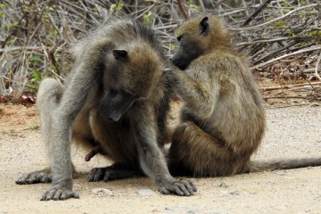 2016 11 Krueger National Park 037 baboons grooming their companions