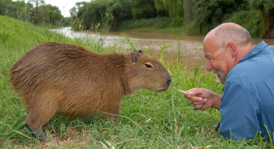 Capybara, the worlds largest rodent