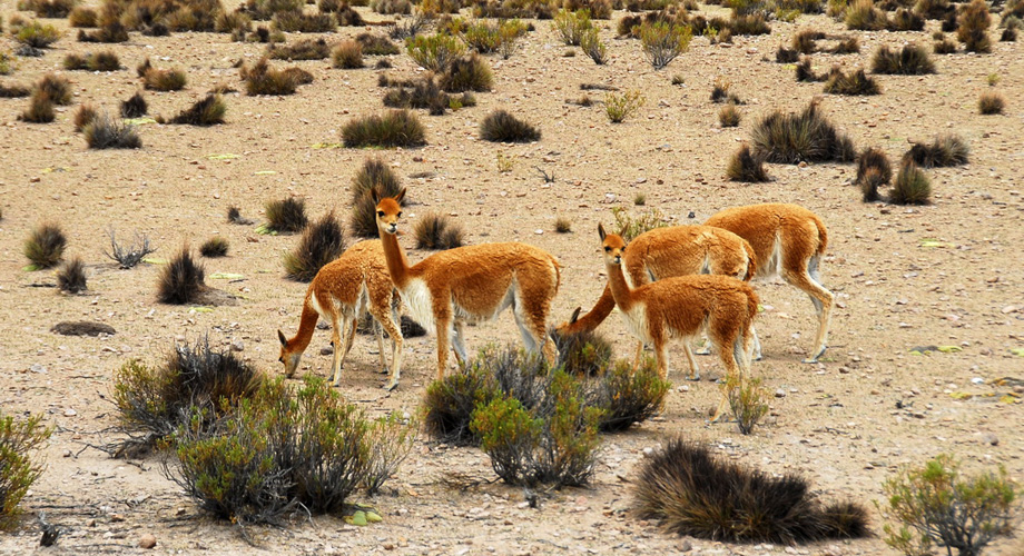 Lamas in the Atacama desert