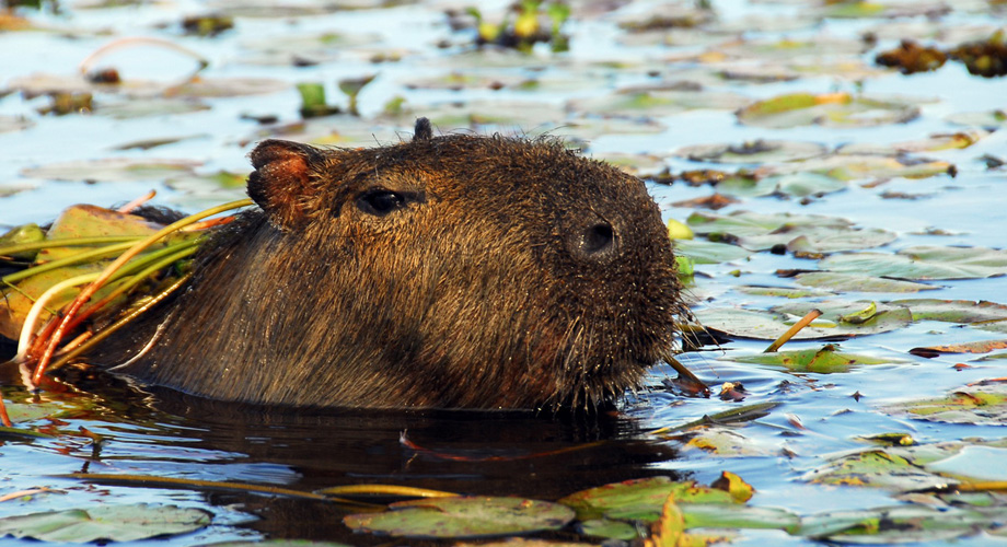 Capybara is the world's largest rodent