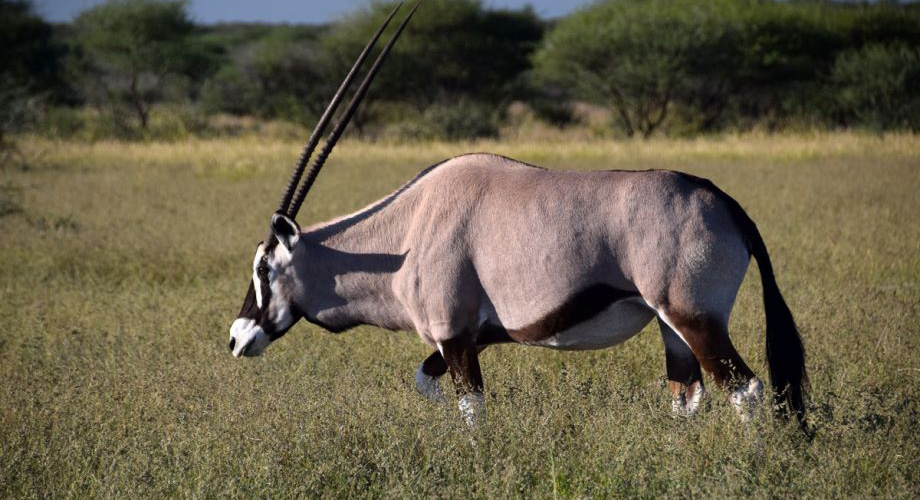 Oryx in the Central Kalahari Game Reserve