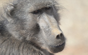 Baboon in Namibia