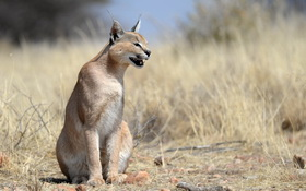 Caracal at Etosha Nationalpark
