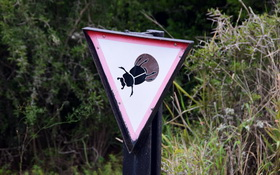 Caution flighless dung beetle