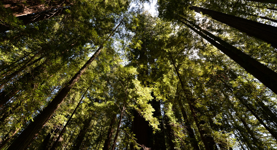 Redwood Forest - uralter Wald