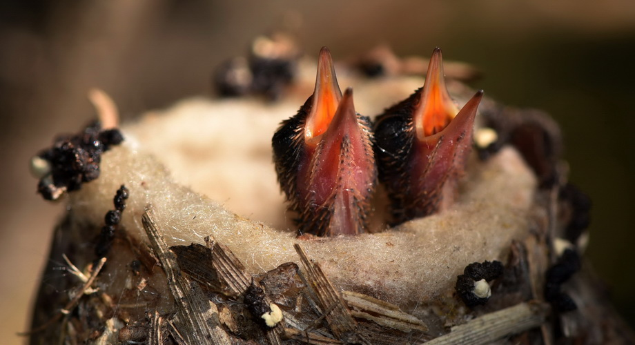 hummingbird chick